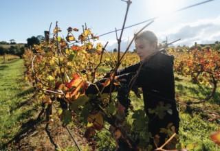 Fergusson Winery Vineyard Tours, Vineyard